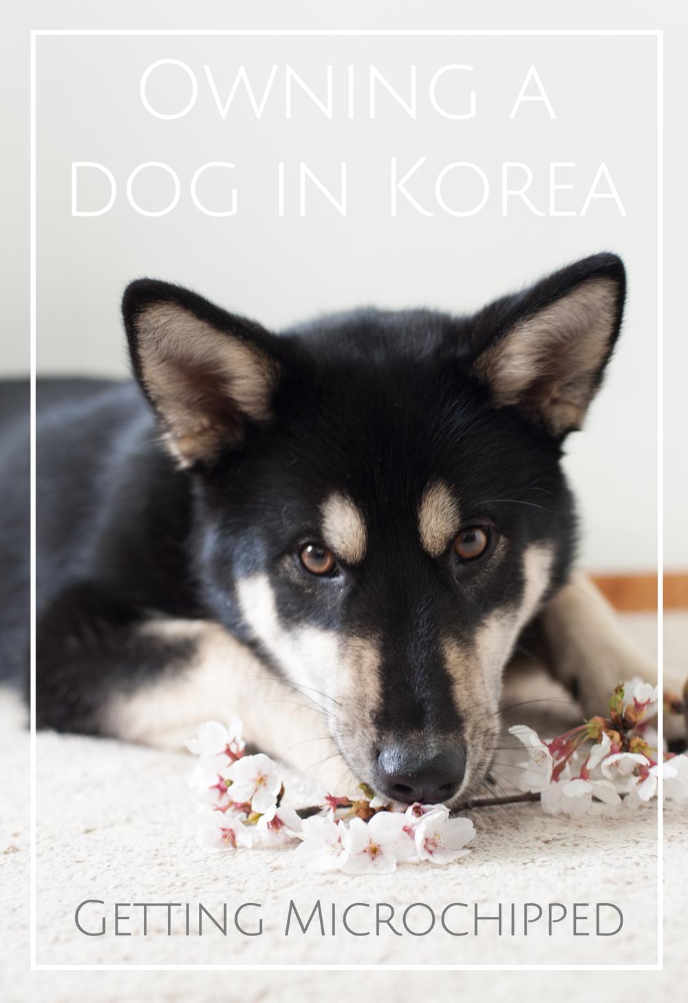 Microchipping dog in Korea
