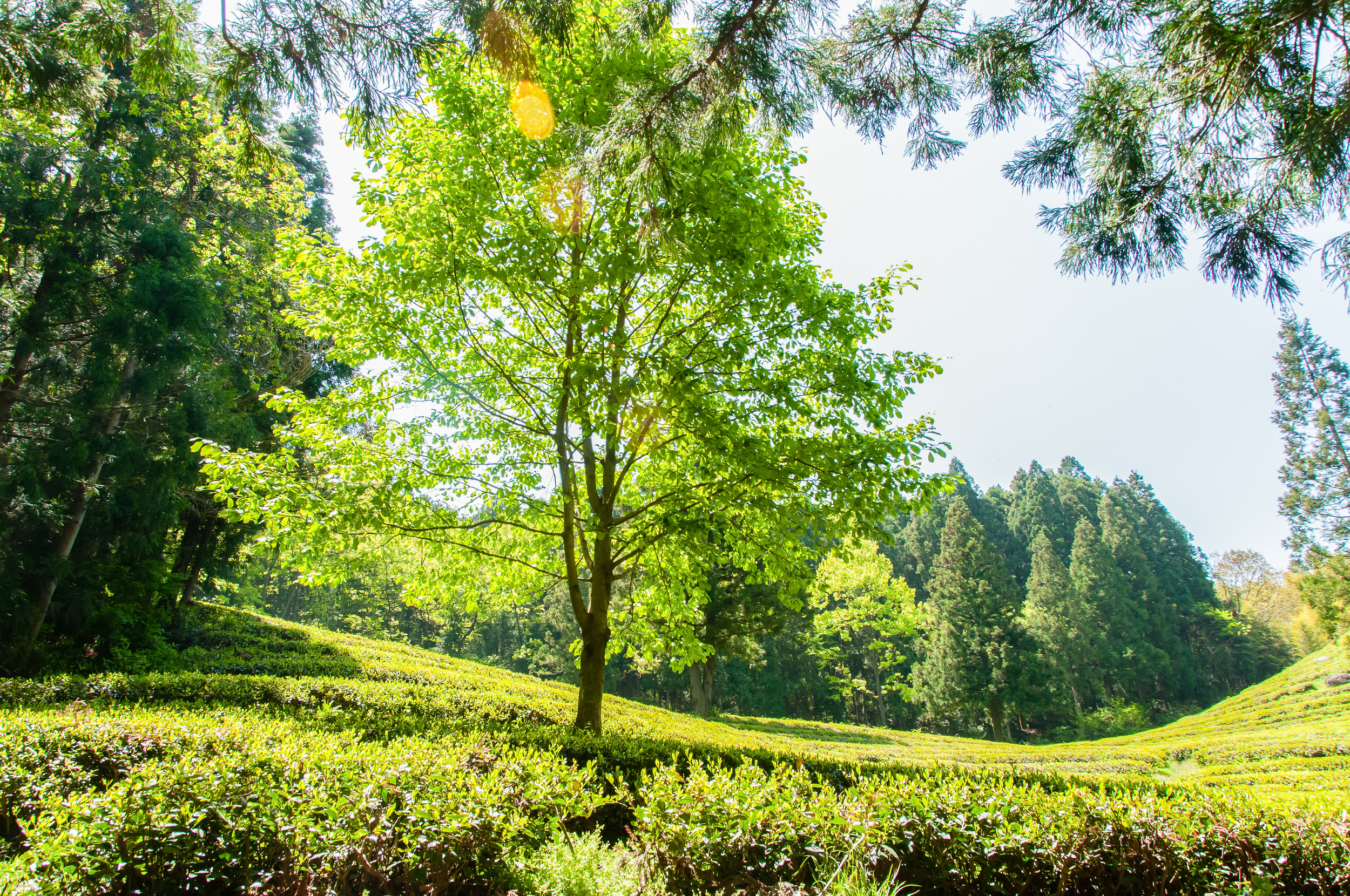 Boseong Green Tea Fields (3 of 21).jpg