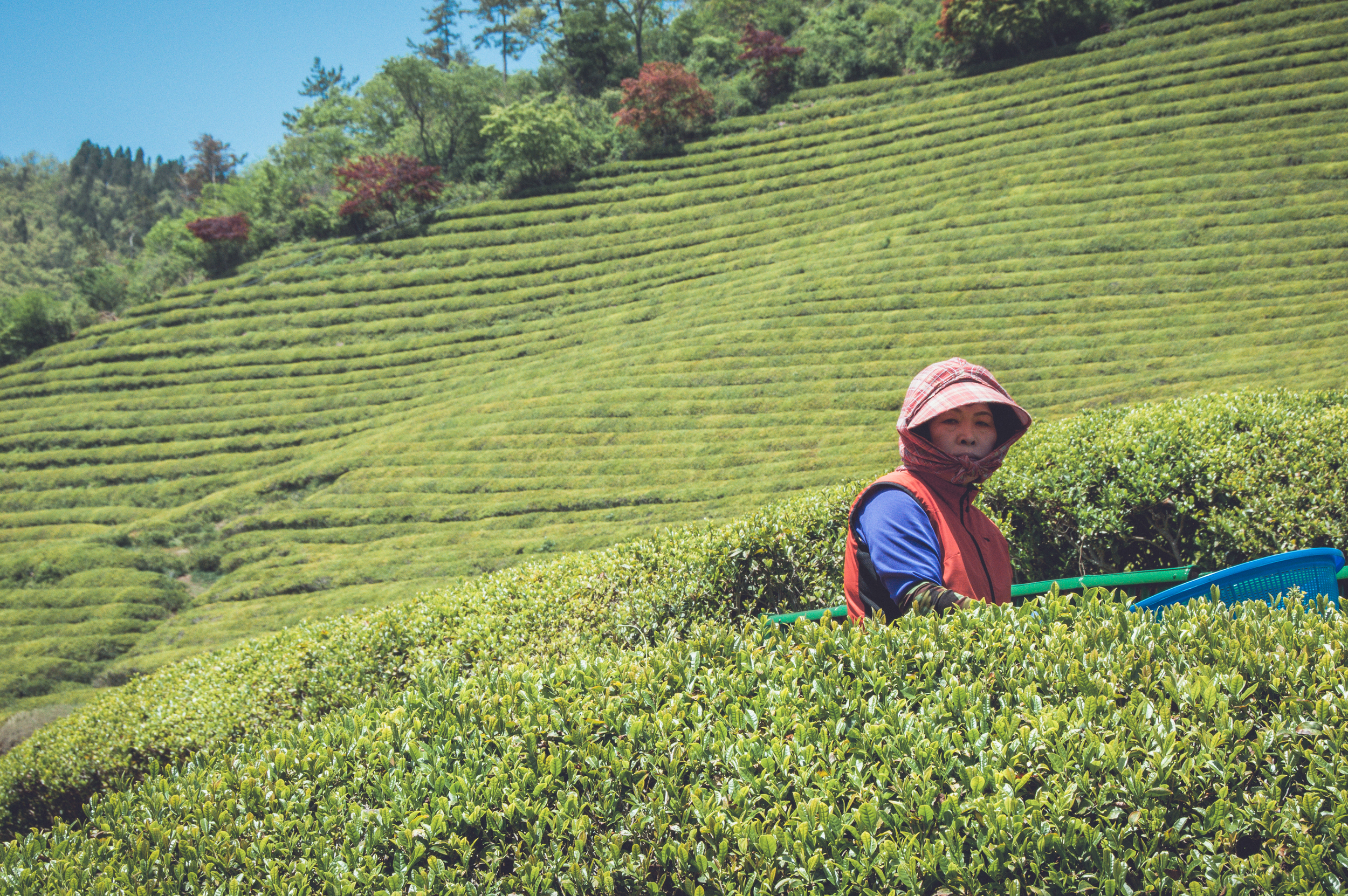 Boseong Green Tea Fields (12 of 21).jpg