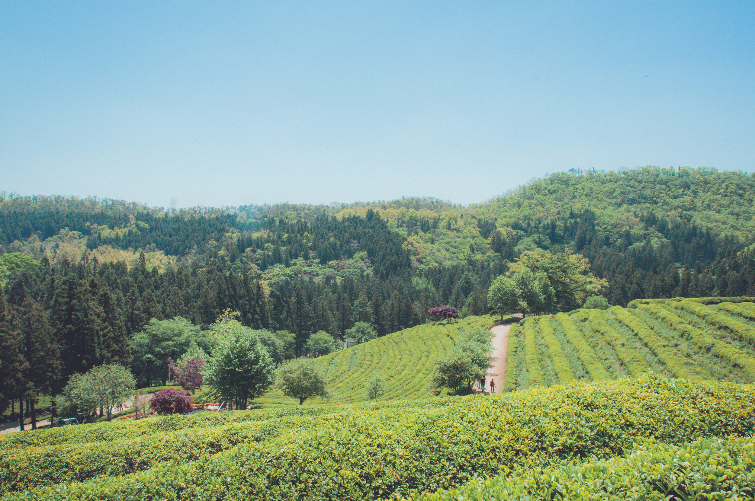Boseong Green Tea Fields (14 of 21).jpg