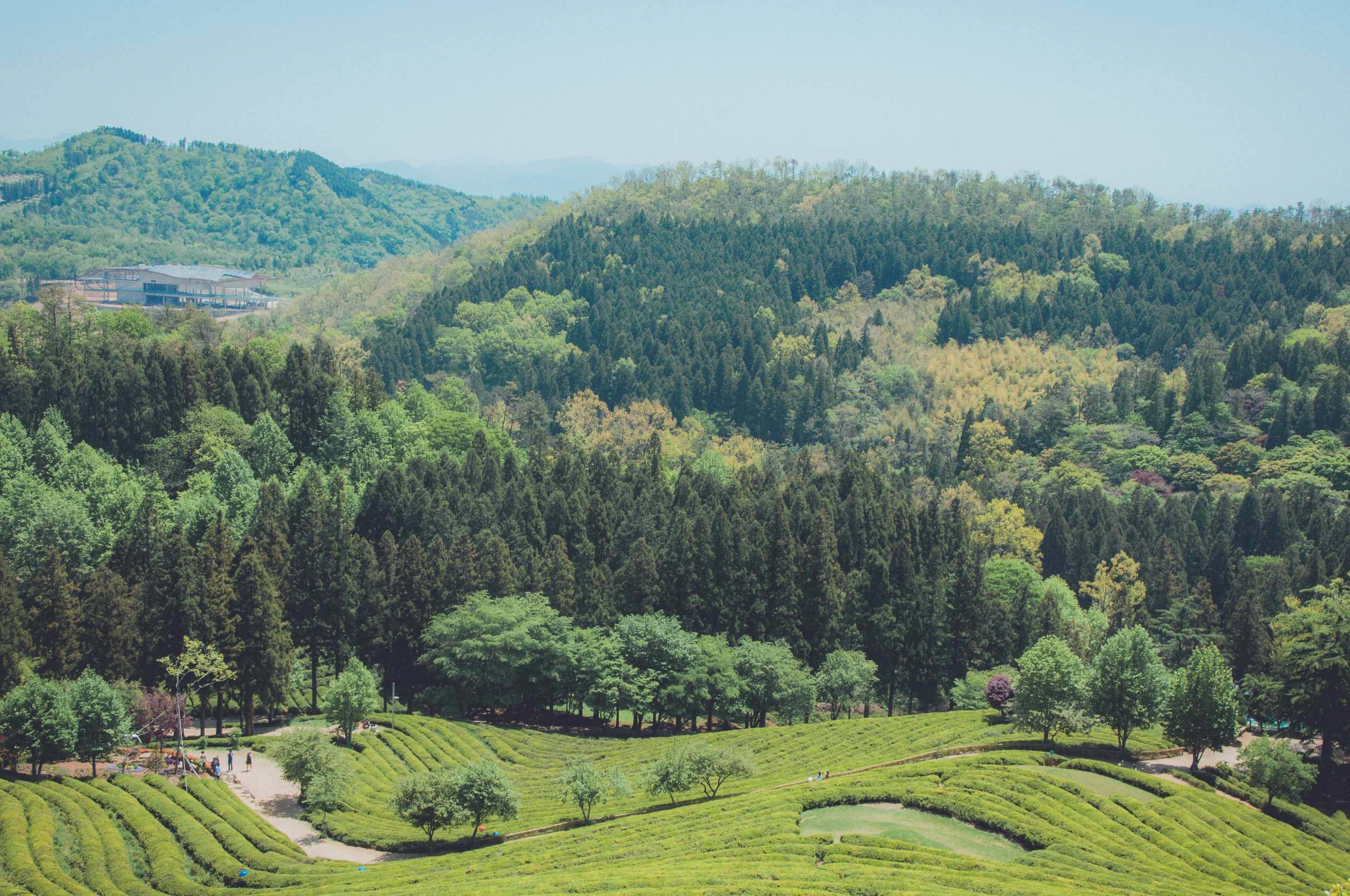 Boseong Green Tea Fields (15 of 21).jpg
