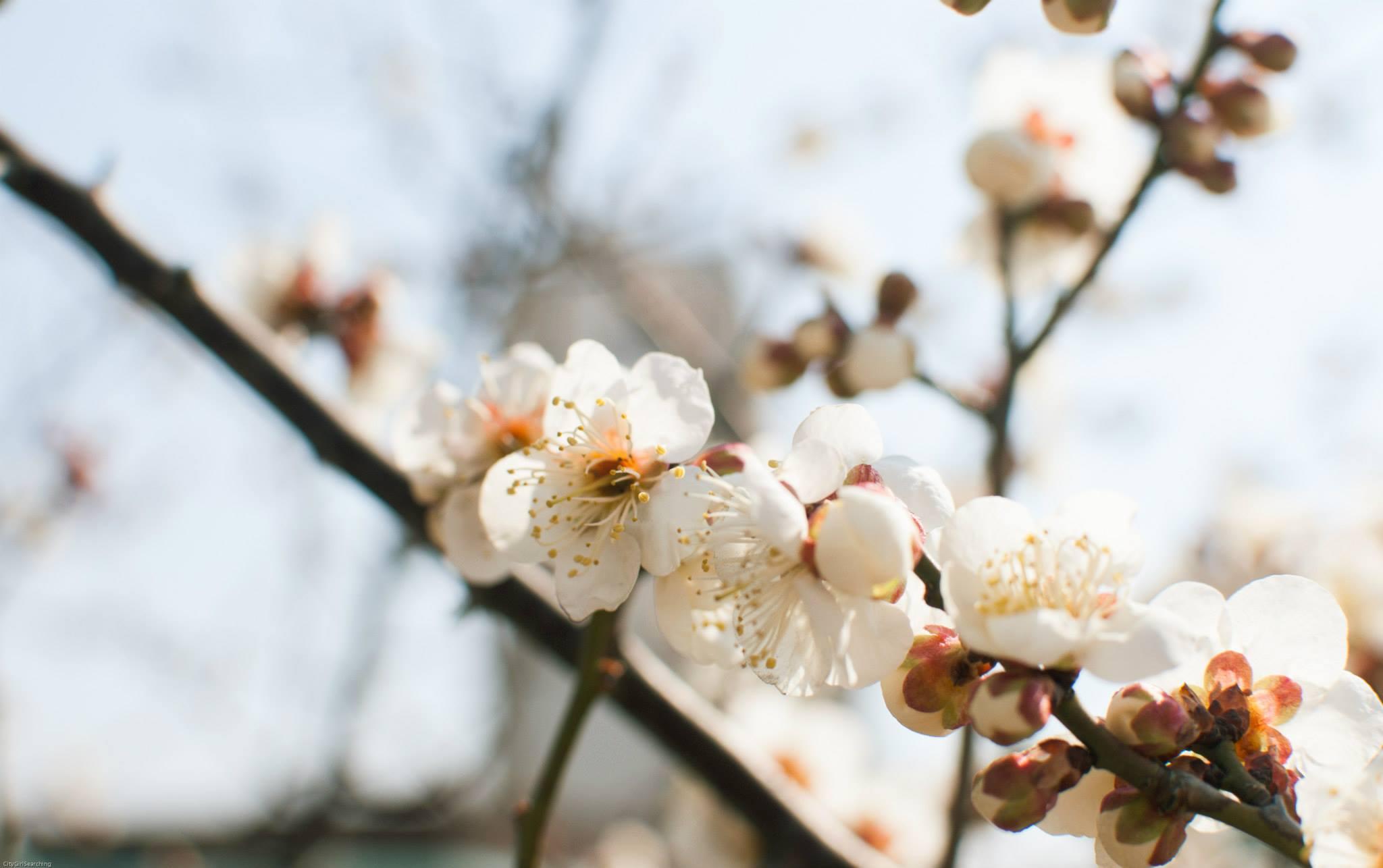 SpringBlossoms.jpg
