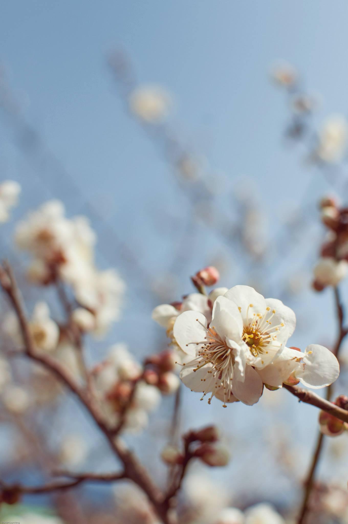 SpringBlossoms4.jpg