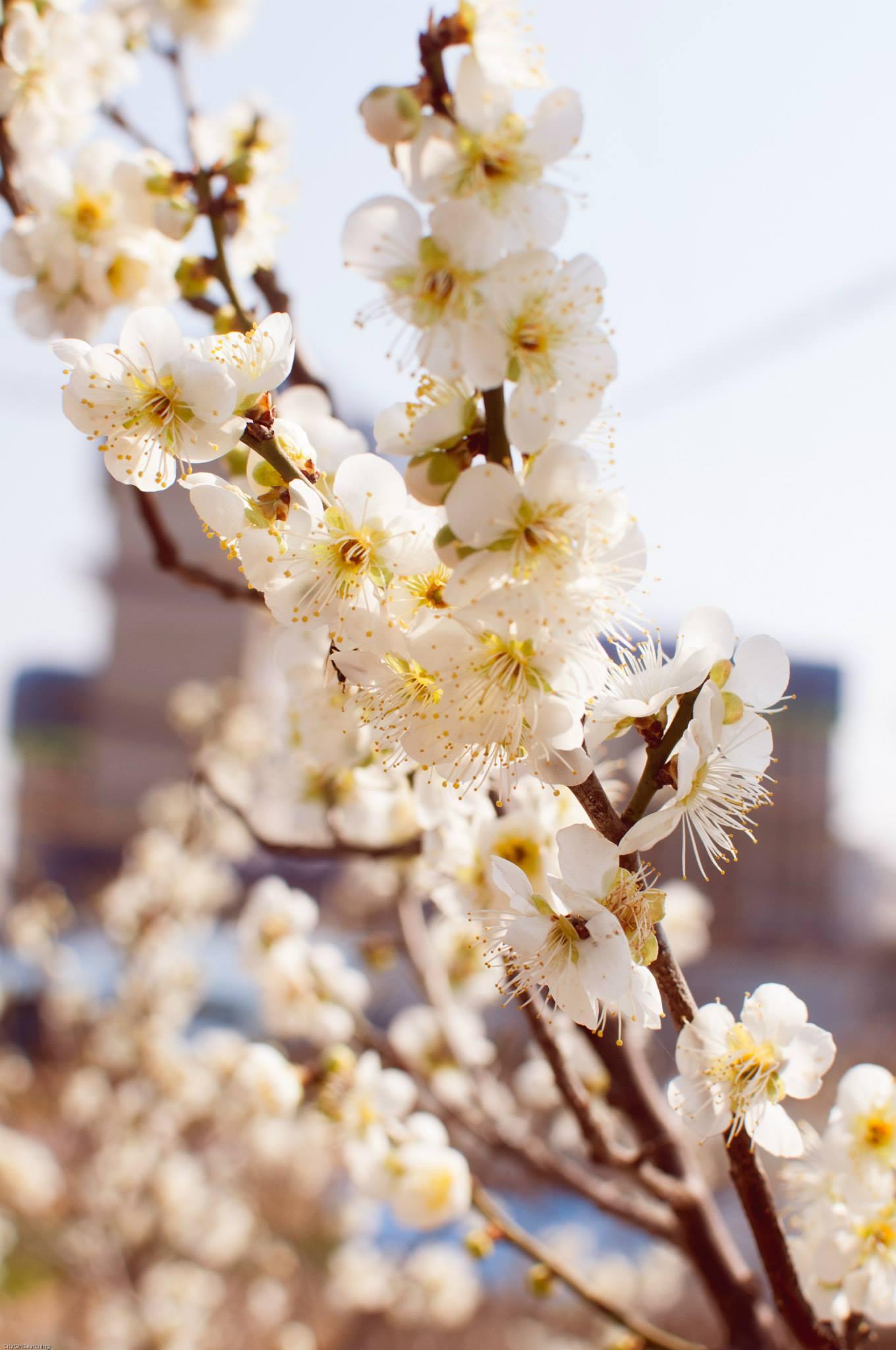 SpringBlossoms5.jpg