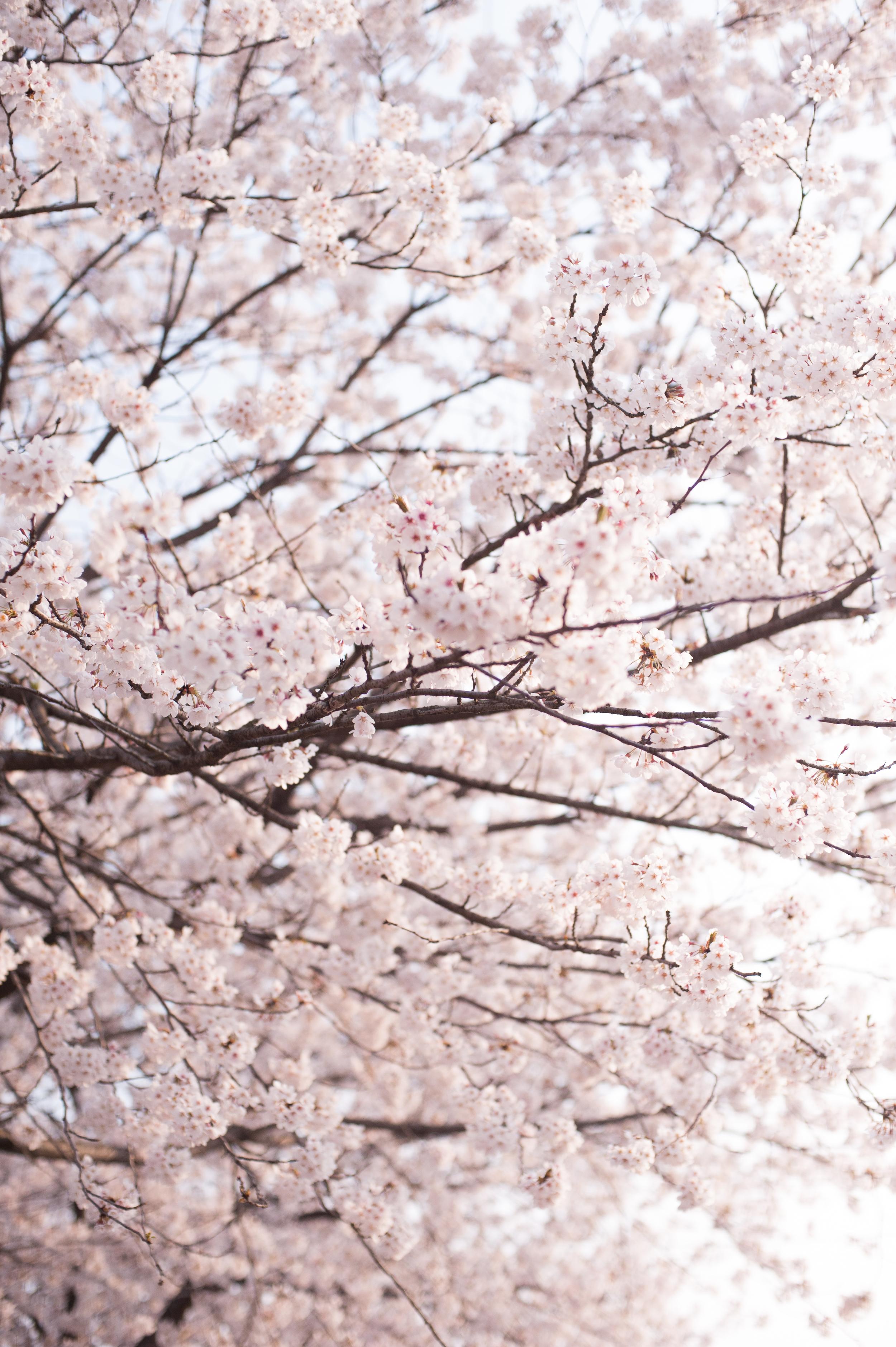 CherryBlossomsSouthKorea (2 of 5).jpg