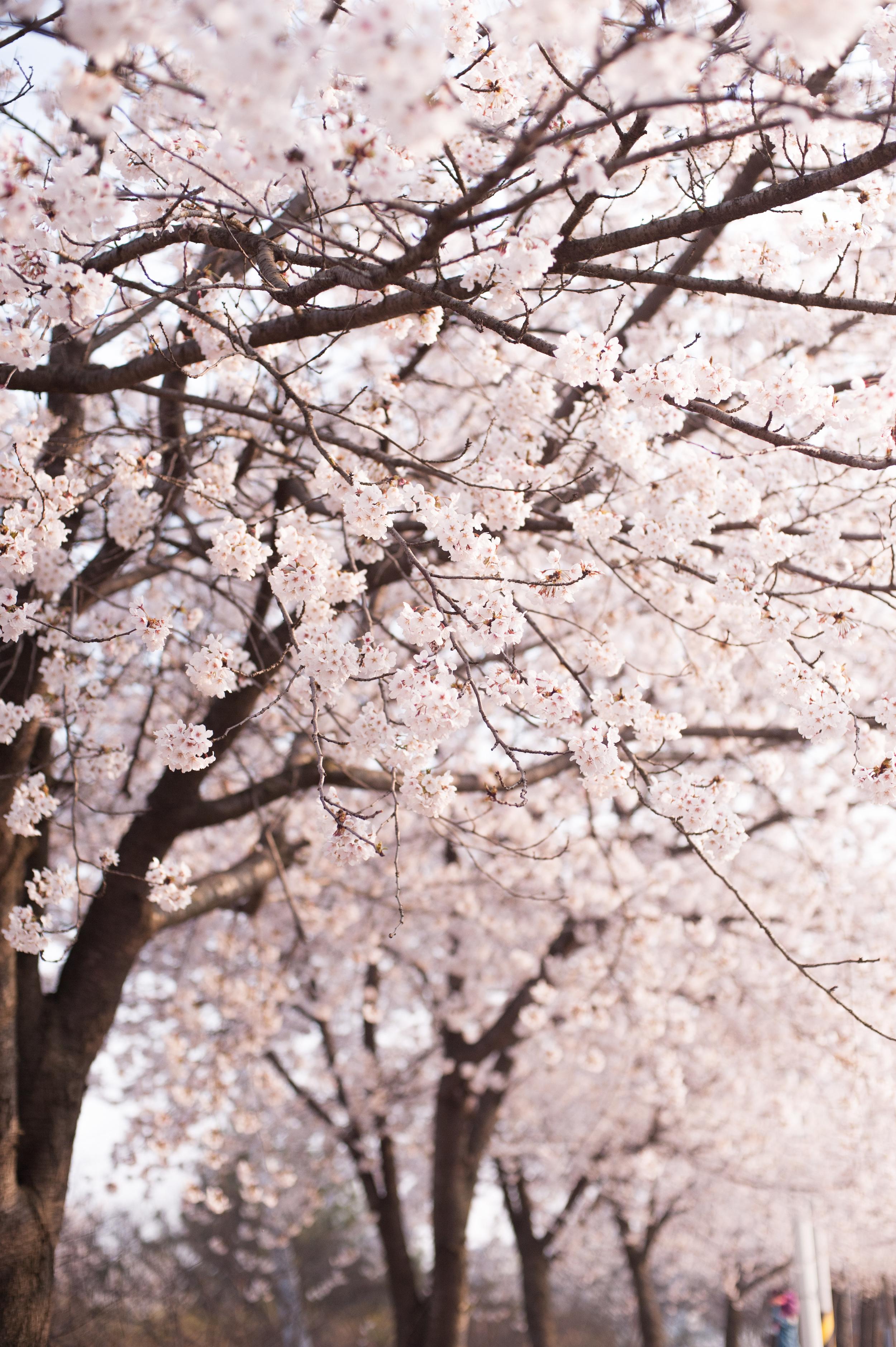 CherryBlossomsSouthKorea (3 of 5).jpg