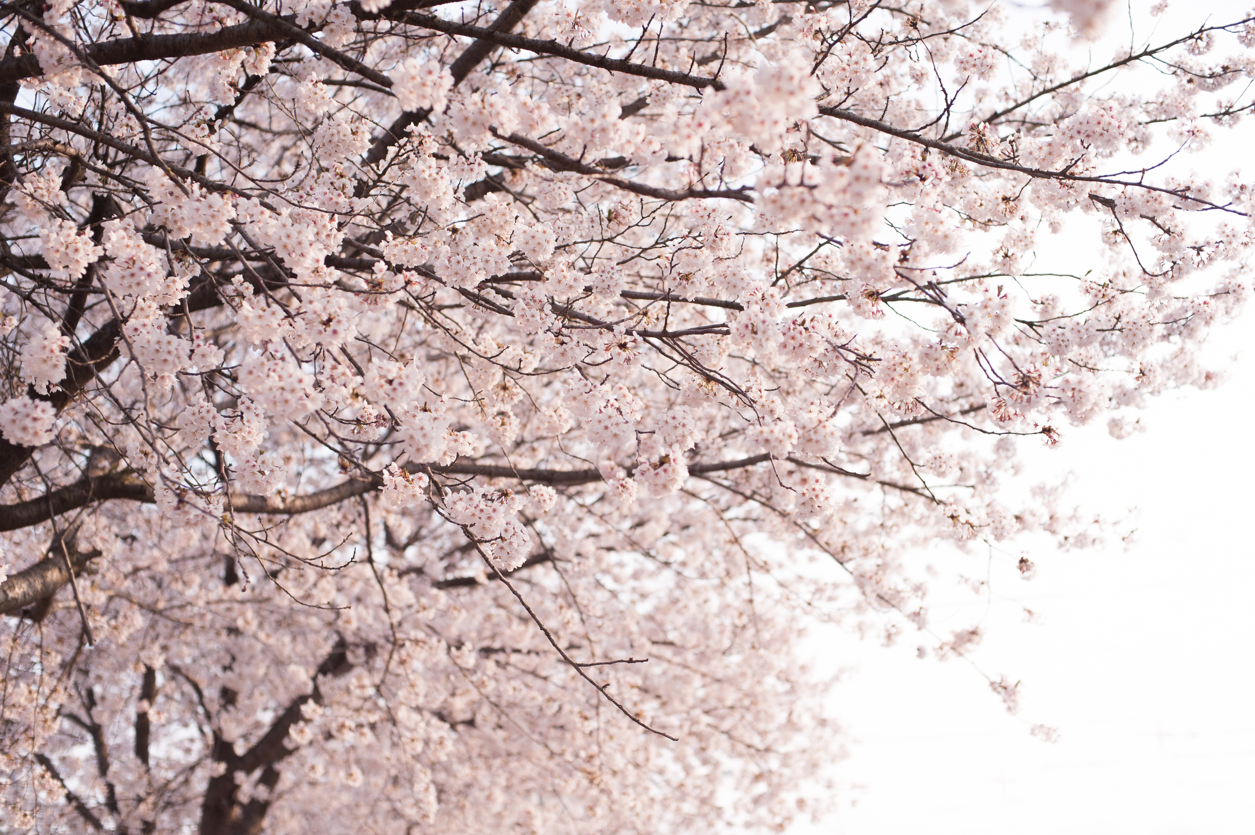 CherryBlossomsSouthKorea (4 of 5).jpg