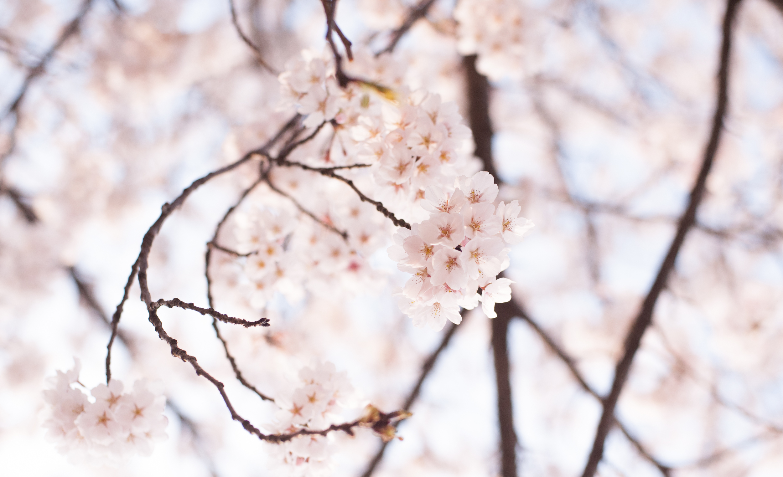 CherryBlossomsSouthKorea (5 of 5).jpg