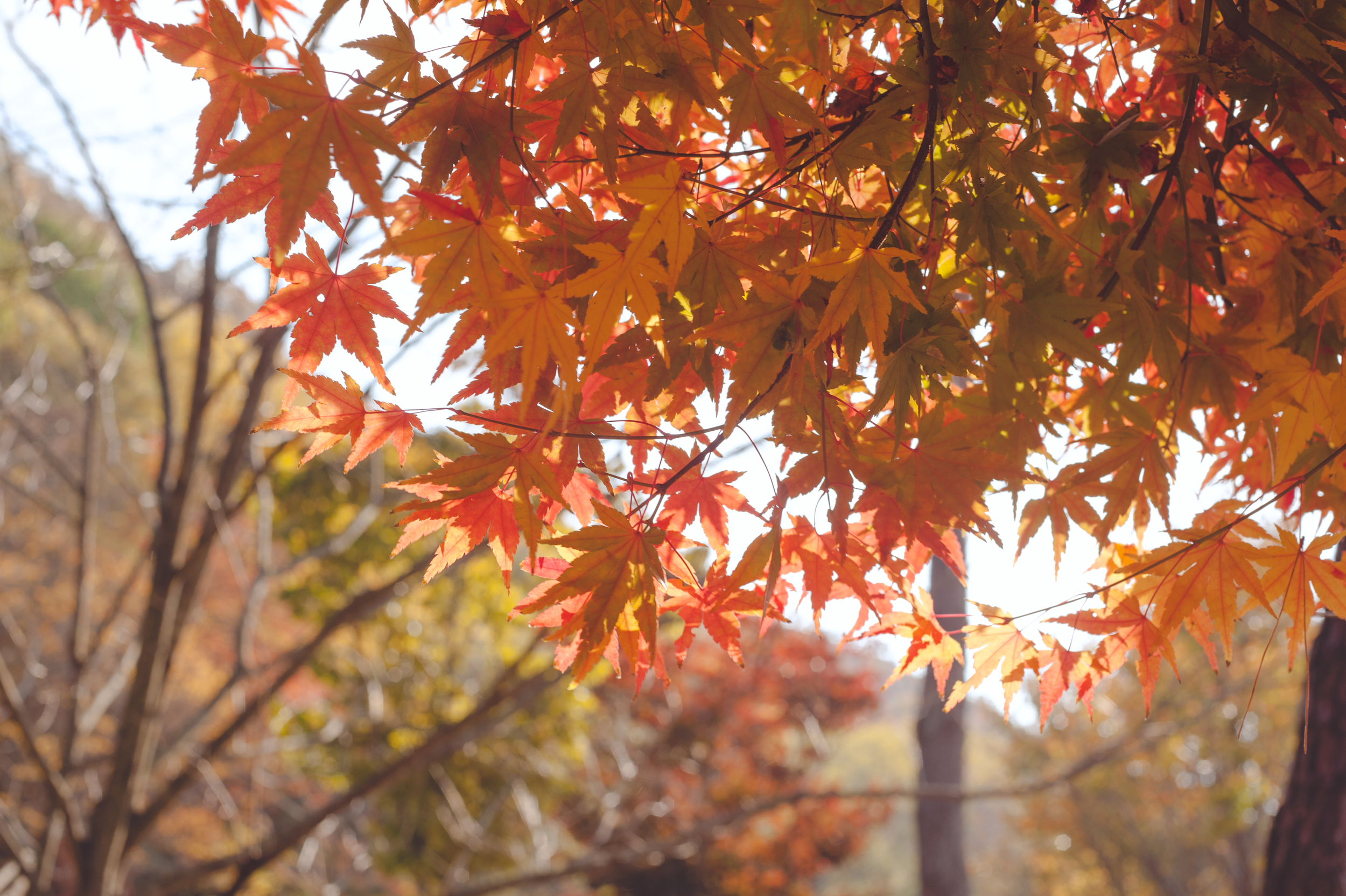 AutumnInKoreaSoenunsaParkFallLeaves (8 of 37).jpg