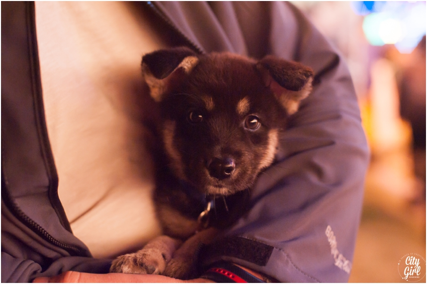 Shadow the Black Tan Jindo Puppy