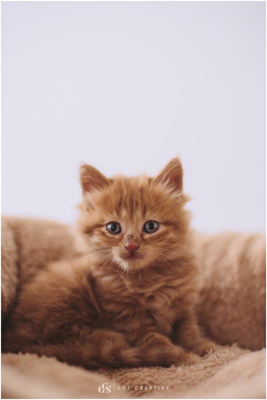 Female Ginger Kitten Rescue Cat Amber The Ginger South Africa