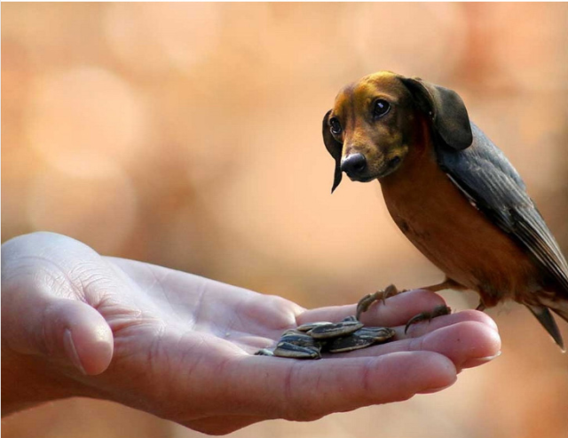 Dird-doxie-640x493.png