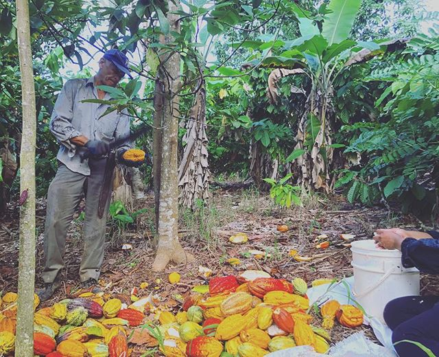 🍫 Yesterday we picked the cacao from about forty cacao trees; today, we removed the beans from the fruit. It is easy to feel at peace in the lush shade of trees. . We can become so distant from the process of our food, forgetting the labor and lives behind those who made it happen. But there is a sense connection to your labor when you work with what you eat. Let's bring that same love to all areas of our work. . . . #cacao #chocolate #food #community #farming #farmlife #happy #love #eco #dominicanrepublic #cacaotree #nature #justice #afrolatina #joy #fruit #beauty #work #workisplay #play #afrocarribean #carribean #chocolatelover #makingchocolatepudding