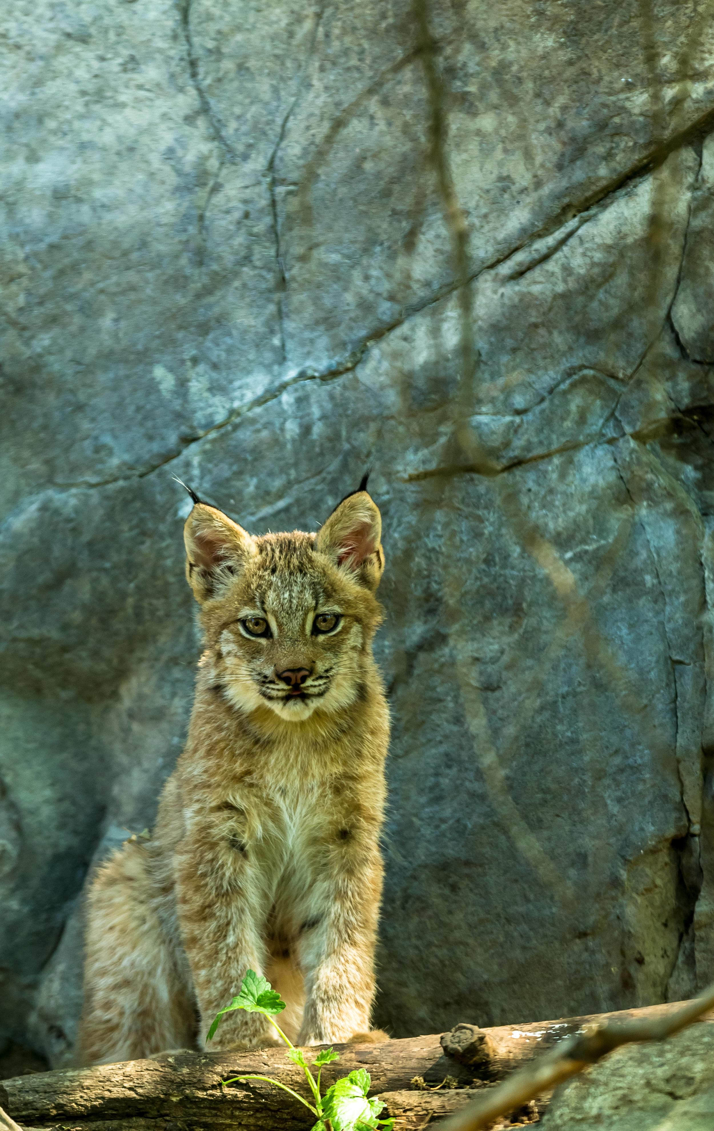 baby-lynx_14935716817_o.jpg
