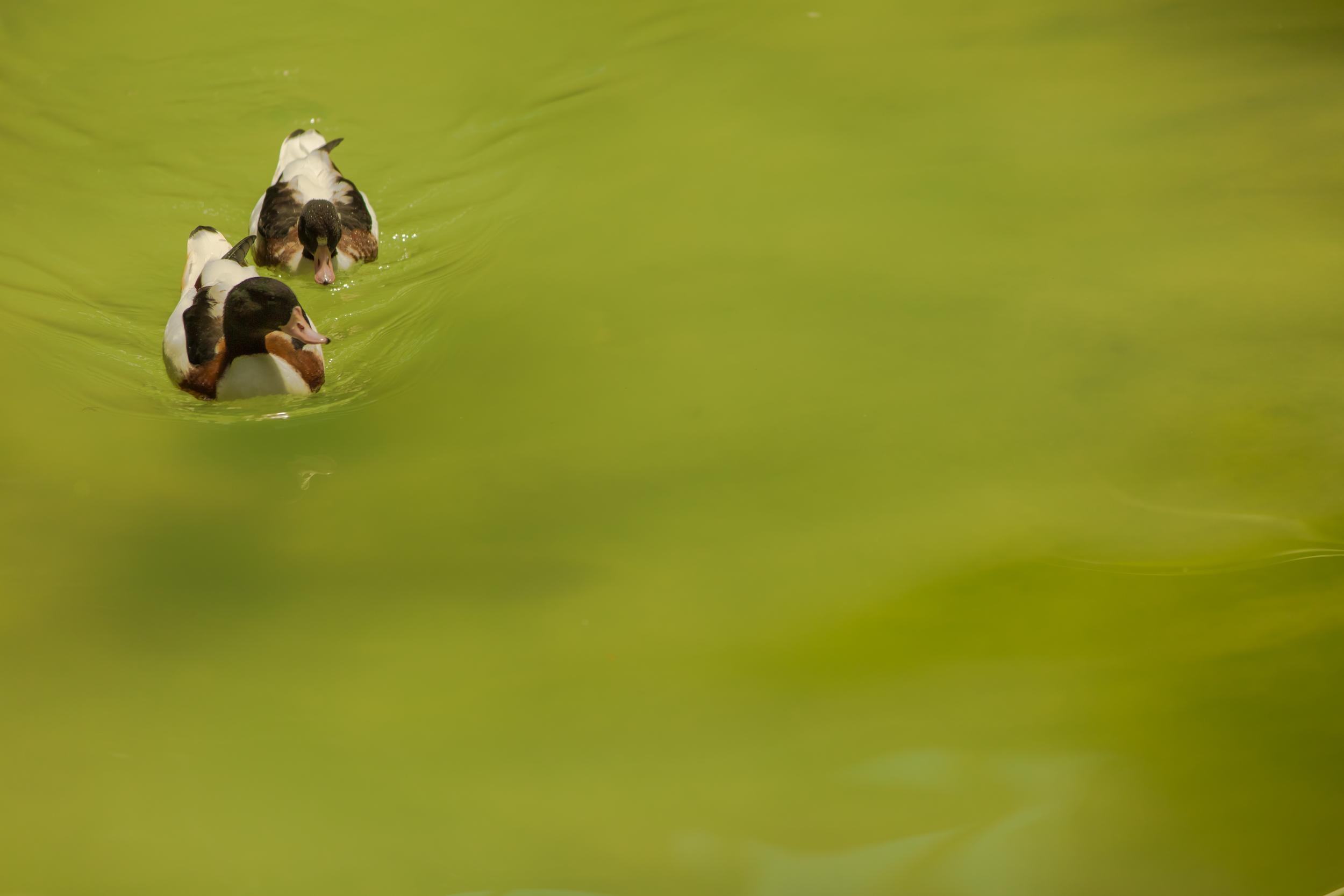 ducks_14433063485_o.jpg