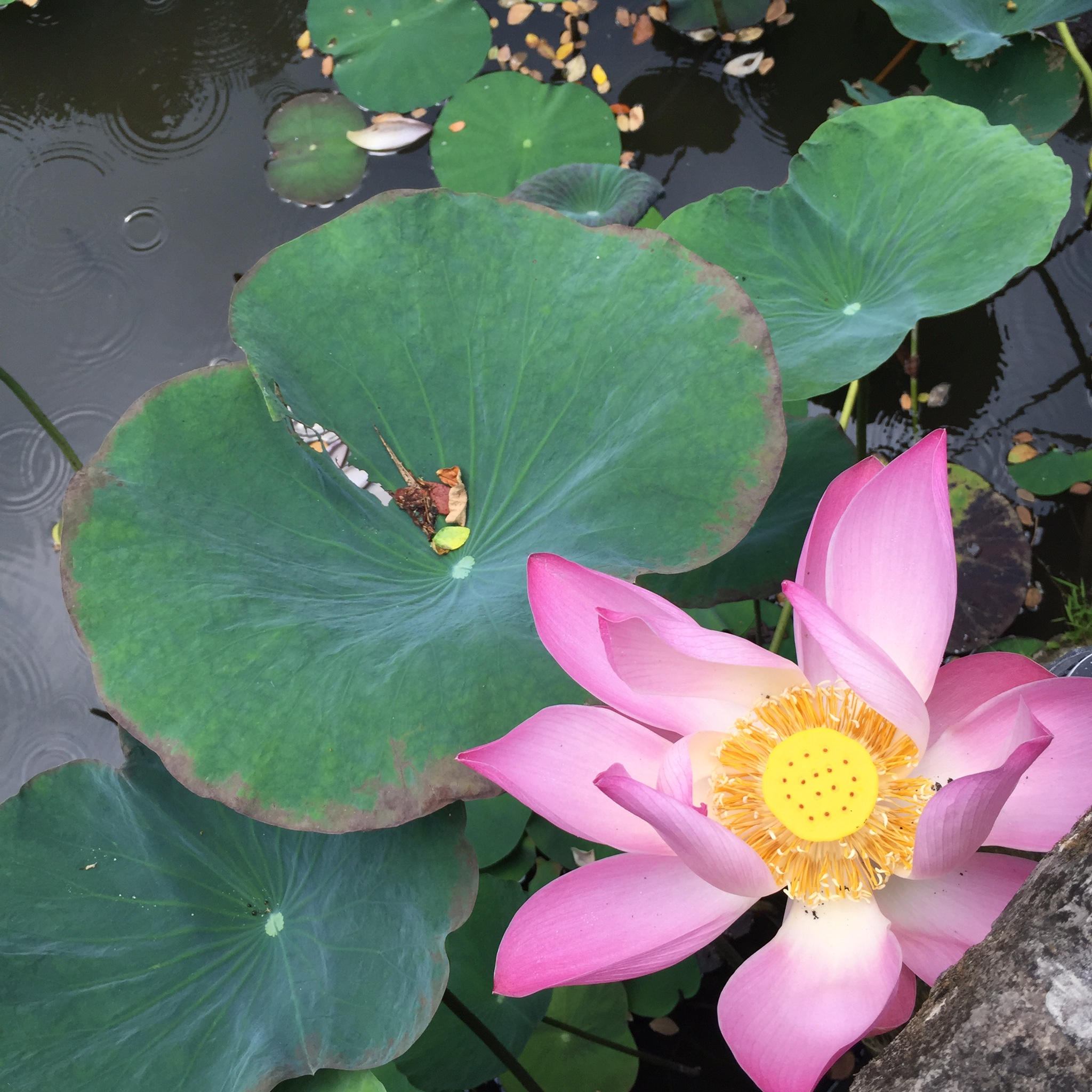 lotus flower at mmyoga retreat in ubud