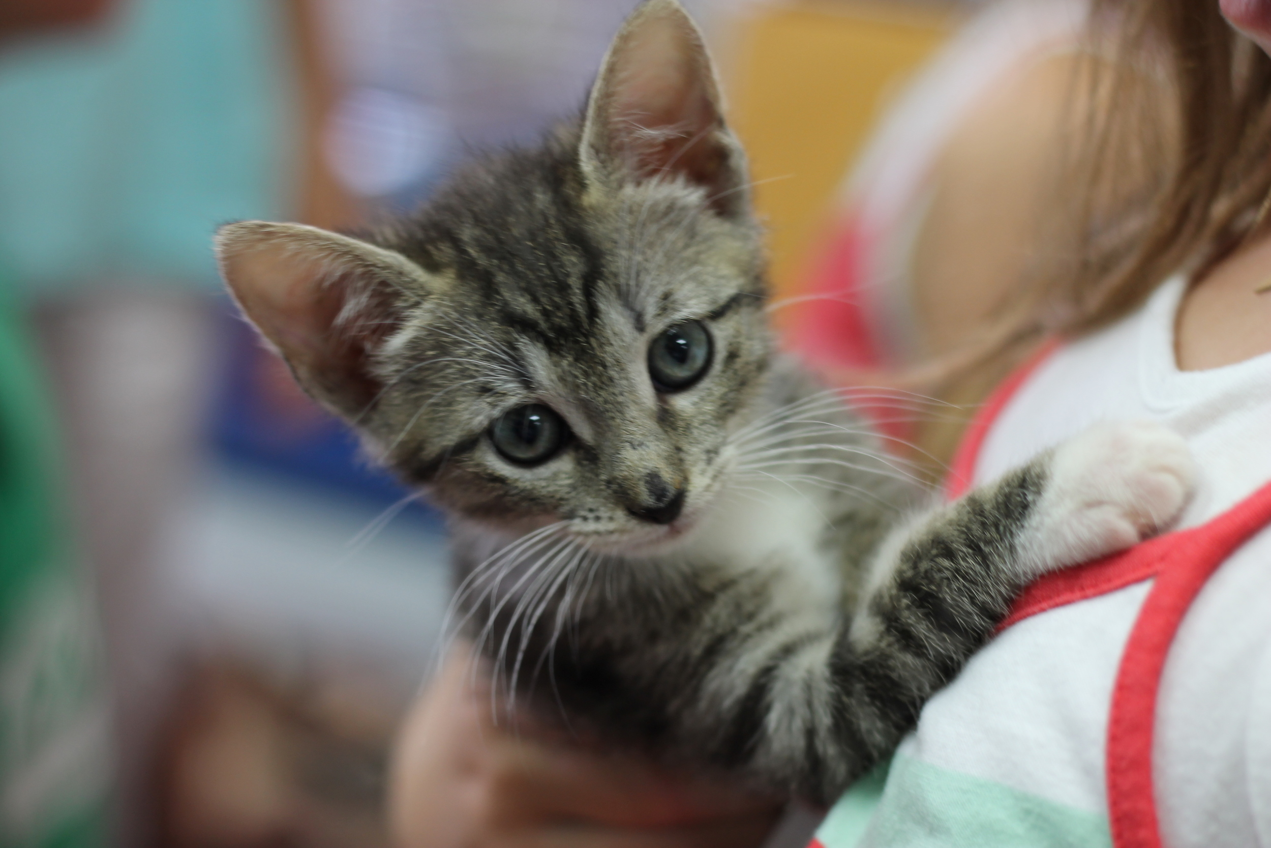 This is Wanda, a lucky kitten that was adopted. Here she is being held by her new family. She will miss her two siblings, Glamour and Smokey, but now have two new sisters and a brother!