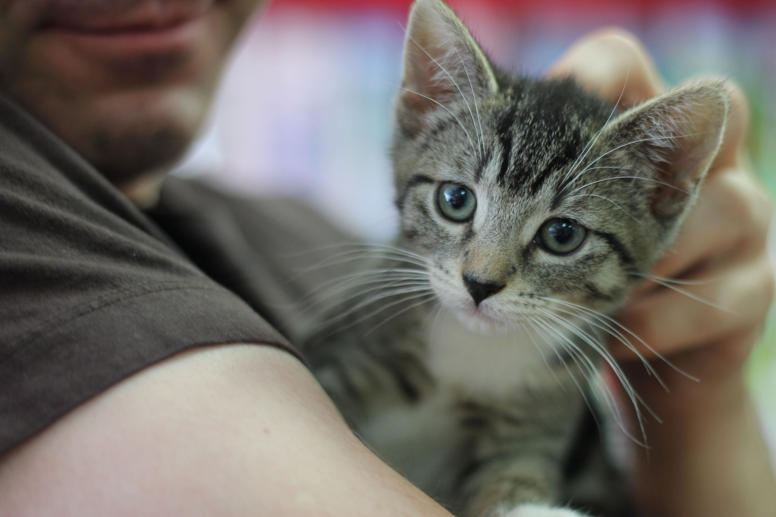 This is Smokey, a sweet kitten that is looking for a home. He is being held by Shawn, who along with Jennifer are guardians of four cats themselves. Looking to become fosters, they might decide to invite Smokey into their home.