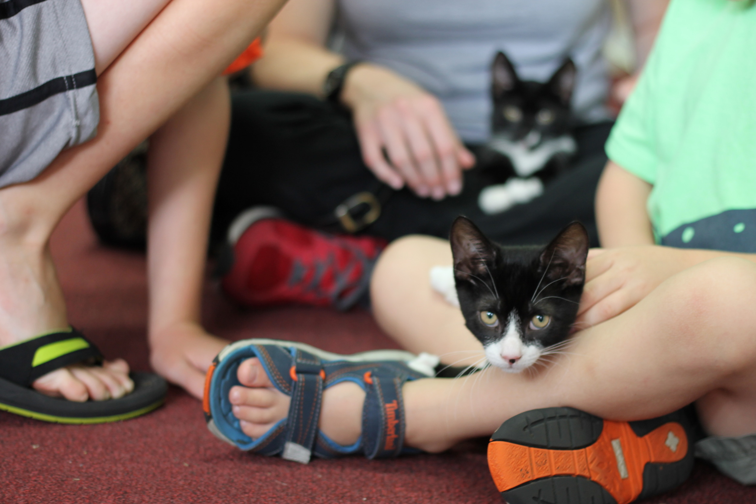 Two tuxedo kittens, Fred and Ethel enjoying their time with a family. They were so patient and sweet with the kids.