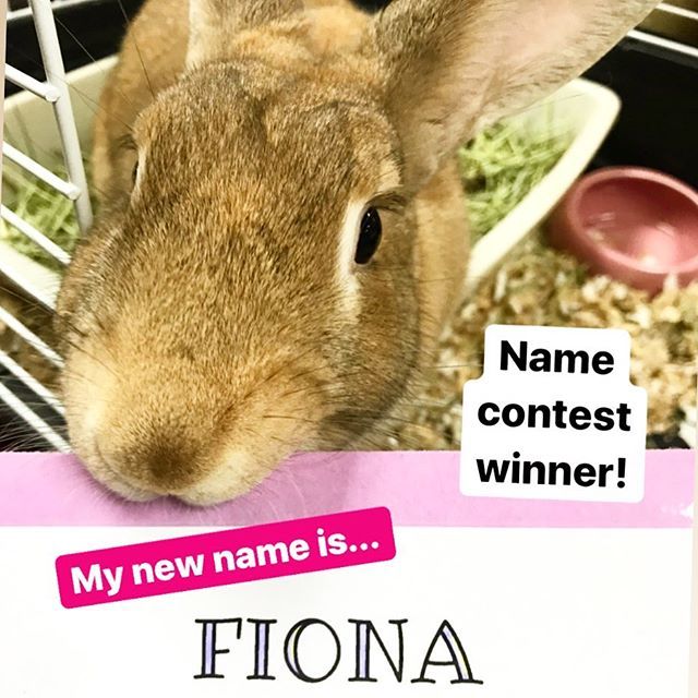 The results are in from our naming contest! Fiona had the winning vote and is now the name of this big beautiful female rabbit, who is also up for adoption! We think the name suits her well 😊 The credit for the name suggestion goes to @cindela1 Thanks everyone who gave a name suggestion! There were so many good ones it was hard to choose!
