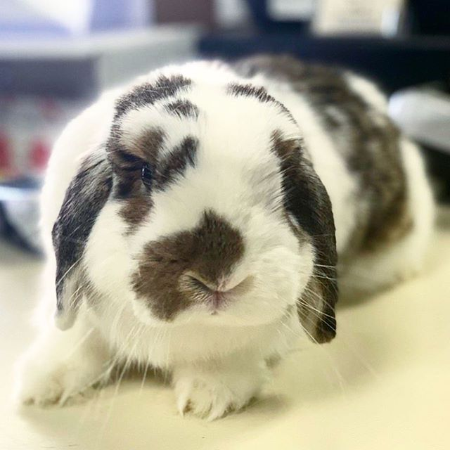 Meet our newest foster bunny Jellybean! She is a 3 year old spayed female mini lop rabbit with the cutest little face. She is very friendly and loves to be held and snuggled with!  Interested in adopting this cutie? Feel free to reach out to us! Our contact info is in our bio.