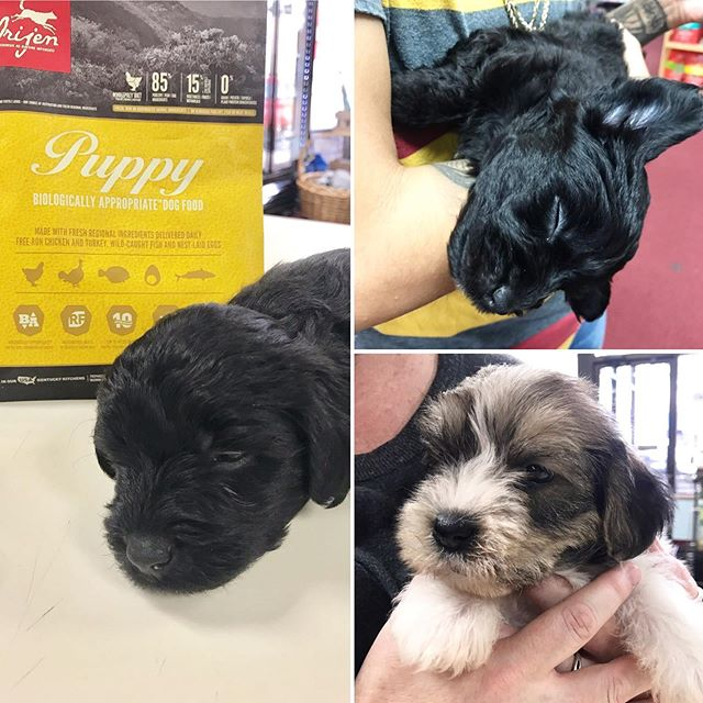 Sleepy puppies!! 😭❤️ these two brothers came in today having just been brought home by their new owners. Their names are Butch and Onyx. They left with some Orijen puppy food as they are starting to wean off of milk! @championpetfood They were both so sleepy after their visit - being a puppy is hard work 🥰