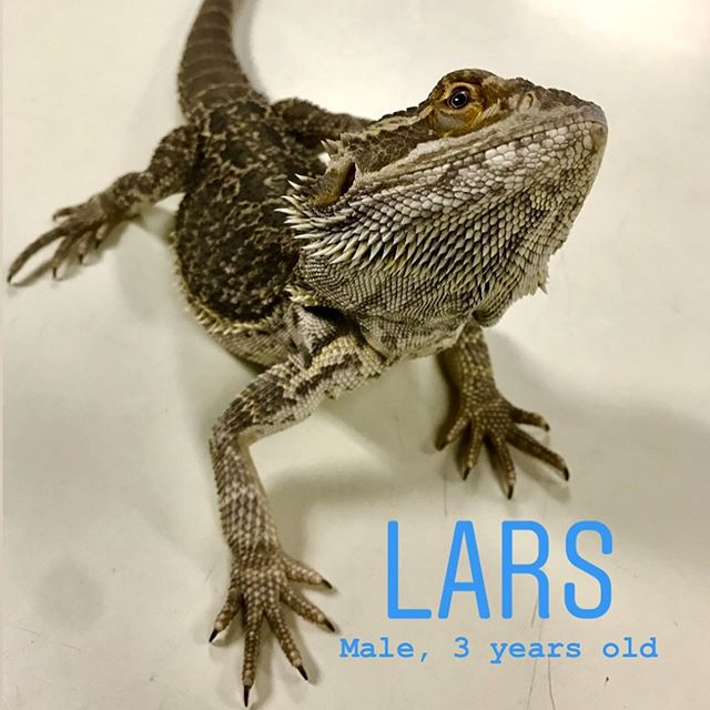 Adoptable bearded dragons! Lars and Kylo are both very sweet and mellow lizards, and are ready to find their forever homes! Contact us if you're interested in adopting or if you have any questions about bearded dragon care. All of our contact info is in our bio.  #adoptdontshop