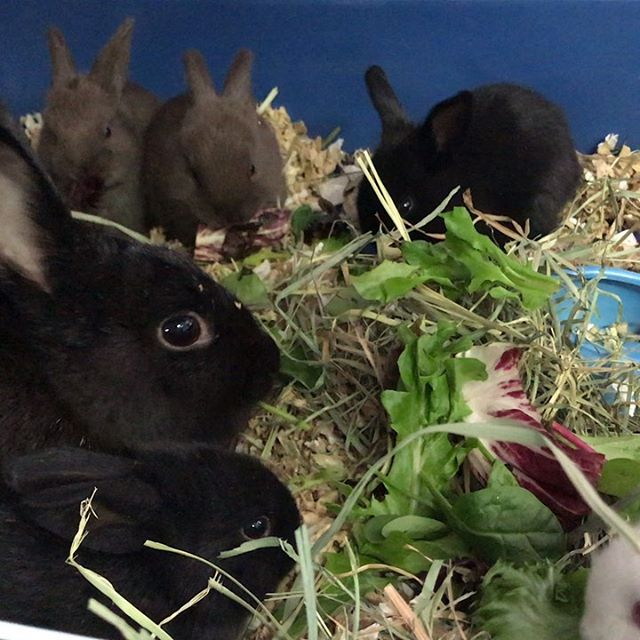 The babies are 3 weeks old now and are starting to eat solid food! They love alfalfa hay and veggies. The moms are doing a great job of raising them, although sometimes it looks like they would love to drop them off at a daycare - the babies will often chase their mommas around trying to nurse or climb on top of them when they're trying to sleep. Typical kids, right?