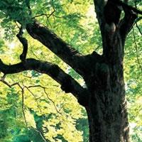wenge-tree.jpg
