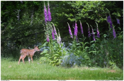 Copy of Fawn and Foxglove