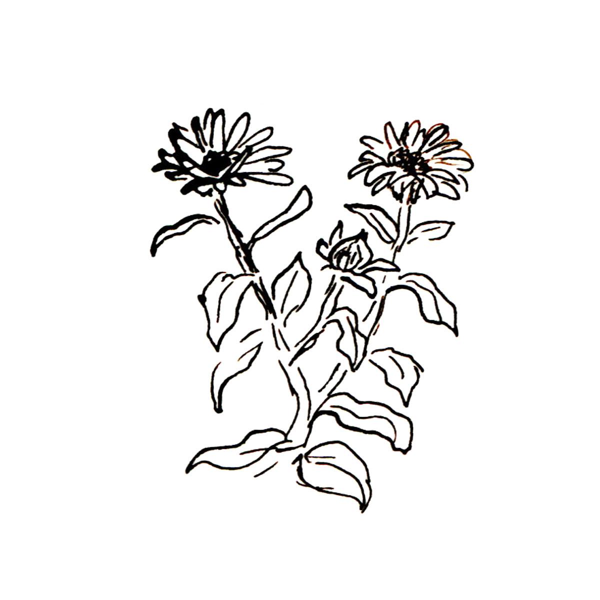 Herboriste-Calendula.jpg