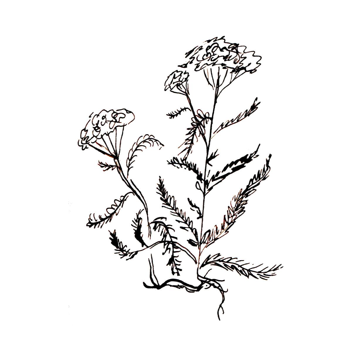 Herboriste-Yarrow.jpg