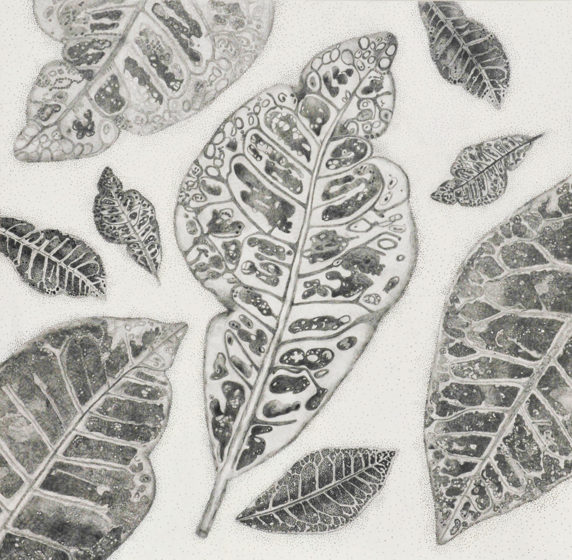 Graphite Series Croton, acrylic and graphite on panel, 30x30