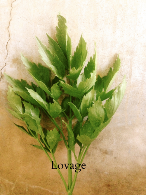 """Lovage looks like celery but its flavor is punchy and perfumed. Use sparingly in soups, add leaves to salads, a bloody mary, stuff them in a chicken, make a potato soup, add it to a salsa verde or wrap it around a strawberry! It's an under utilized herb and generally unknown. Yet it's popular in Britain. Even in the Middle Ages, Charlemagne used it as an aphrodisiac, his very own """"love parsley""""."""