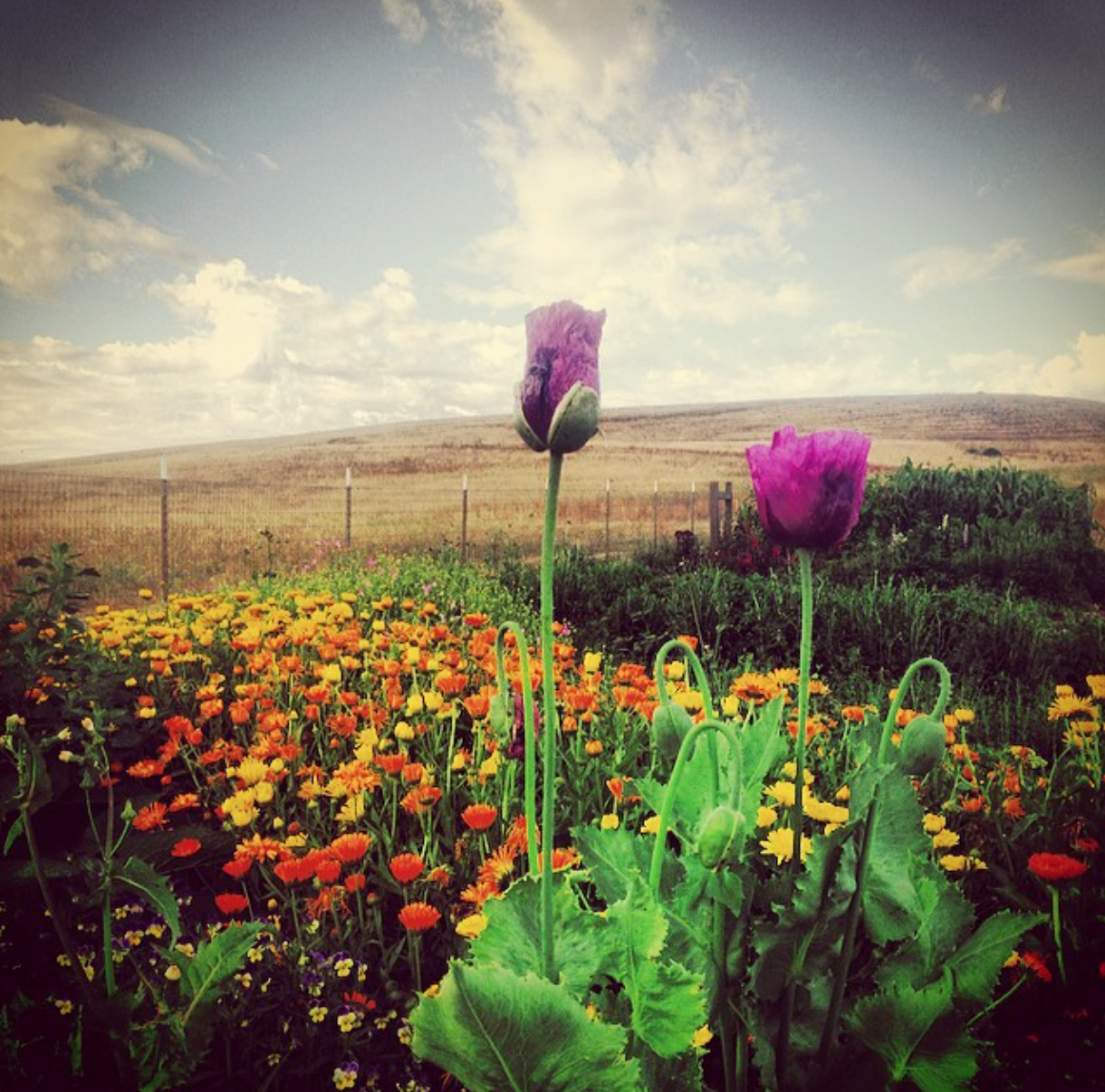caleyflower.jpg