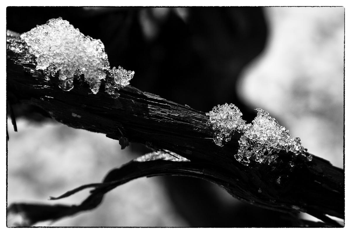 Ice on Vine Close Up
