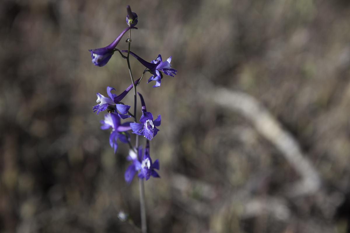 Purple in the Desert