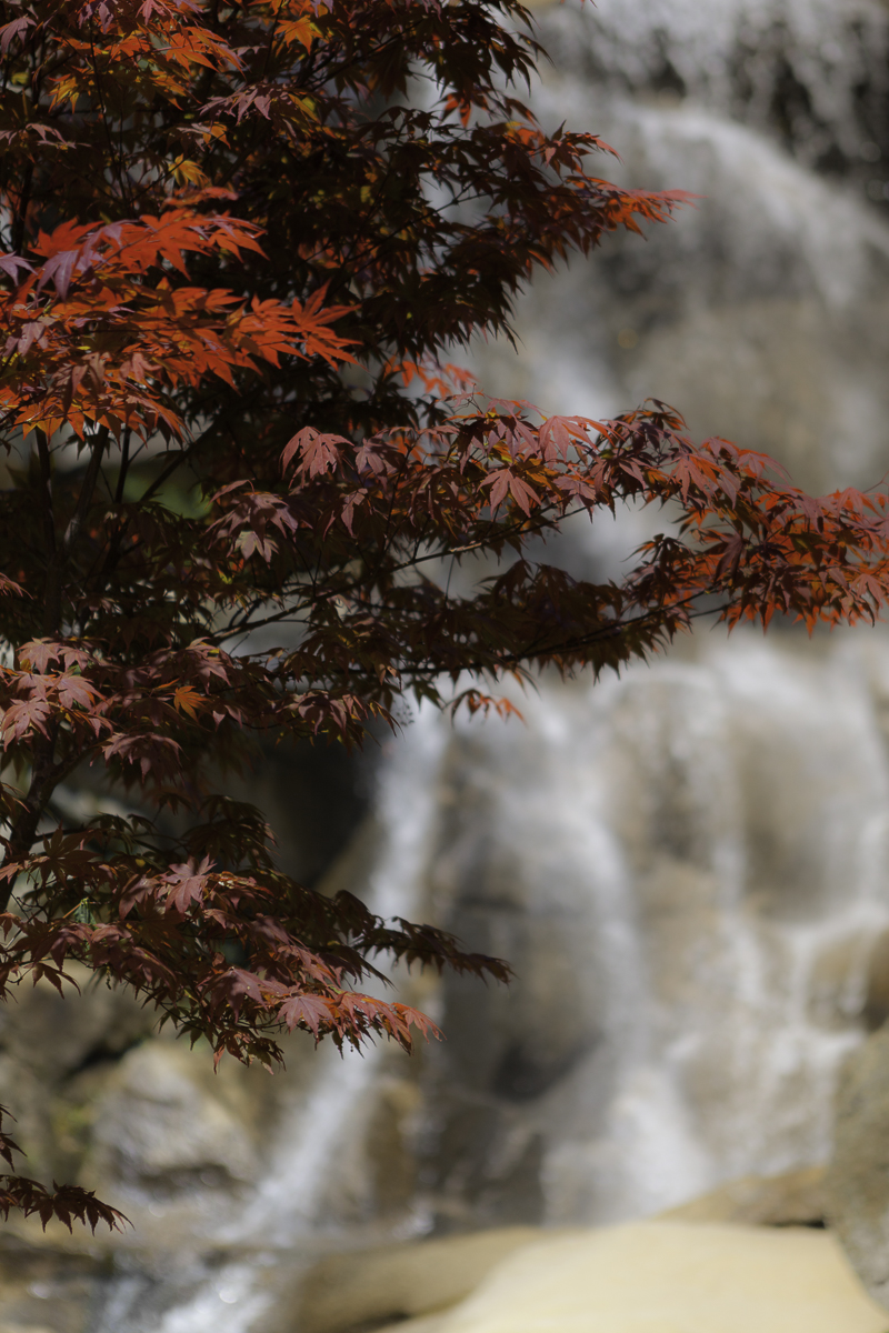 Red Maple
