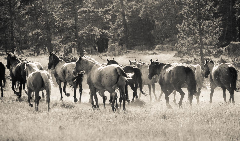 Horses, Allen's Diamond 4 Ranch, Wyoming