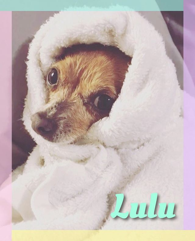 Lil' Lulu's spay went well and she is also recuperating with her fab foster @maalfunction 👍🏼 This tiny 5 lb girl is now ready to find 4ever! She's the perfect pup to tag along with you on all your adventures - to chat about adopting Lulu drop us a DM or e-mail at readypethome@gmail.com ✨ #AdoptLulu