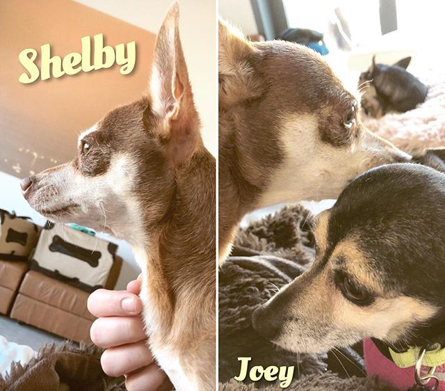 Shelby is enjoying some [supervised] no-cone time... and the first order of business was giving Joey some thank you kisses for being such a good nurse and BFF the past few days!  Shelby is doing really well after her spay but has to keep her cone head for a little while longer while she heals! 😷 #ReadyPetSet #AdoptShelby #AdoptJoey