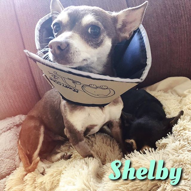 We just got the ✨BEST✨ news!  Miss Shelby came to us with a golf ball sized mammary tumor that was removed during her spay last week. We had it biopsied to find out if it was cancer and we just got the call that it was benign! Hooray❣️ Shelbs is recovering well from her spay and will get her sutures out in about a week! She's been through so much, but with her BFF Joey by her side she's gotten through it!  Joey is always snuggled right next to her, as you can see in this cute pic!  Next order of business is to find a 4ever home for this #ReadyPetSet! It's harder to get two dogs adopted, but we can't imagine separating these buddies! I know there is someone out there that will see these cuties and open their heart and home to them - could it be you?! 🤔🙏 #AdoptShelby #AdoptJoey