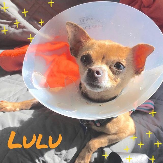 Lulu is really rocking her cone - doesn't she just look so cute in her post-spay get up?! 😍 #AdoptLulu
