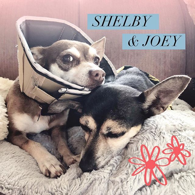 Can't wait for Shelby's cone to come off so that these two can properly snuggle again. Sutures come out on Tuesday! #ShelbyandJoey #ReadyPetSet