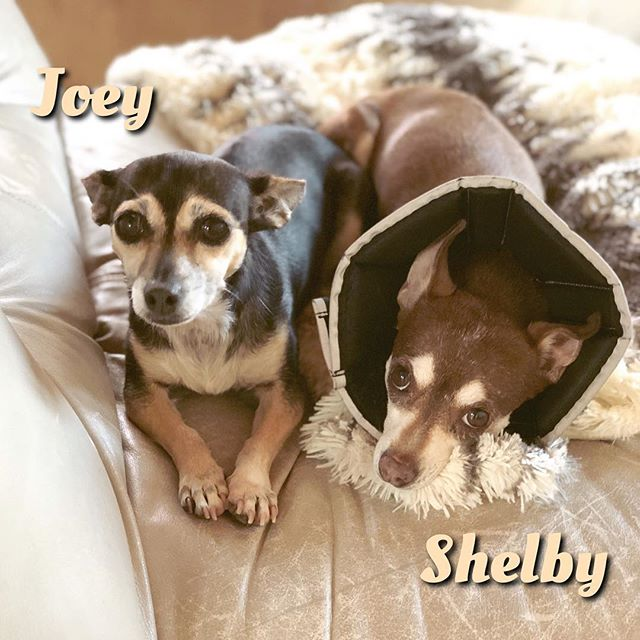Shelby's stitches came out this morning but she still has to keep the cone on for two more days 😭 #longesttwoweeksever #ReadyPetSet #AdoptShelbyandJoey