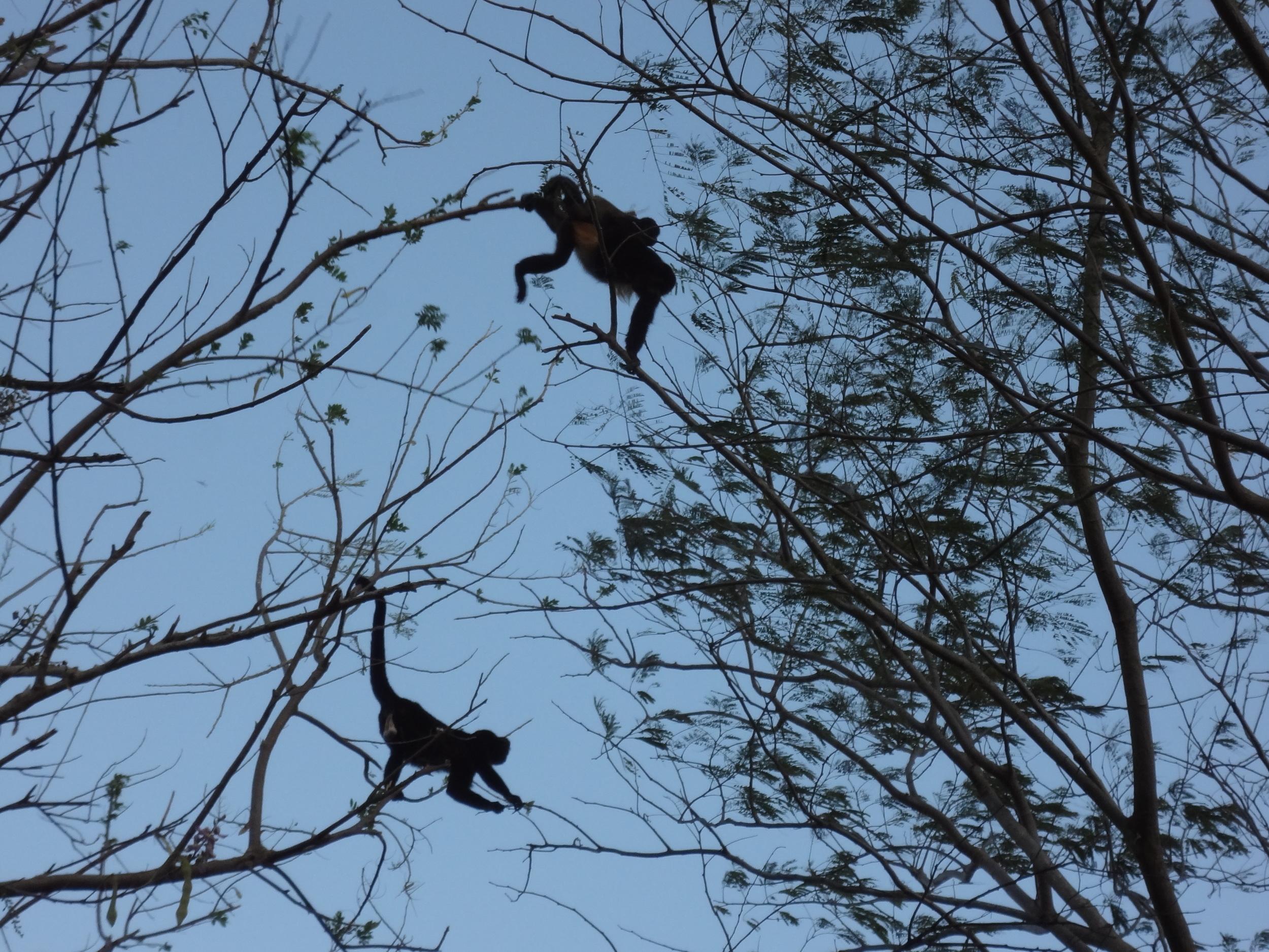 Monos locos. These little howler monkeys sound like 400lb gorillas!