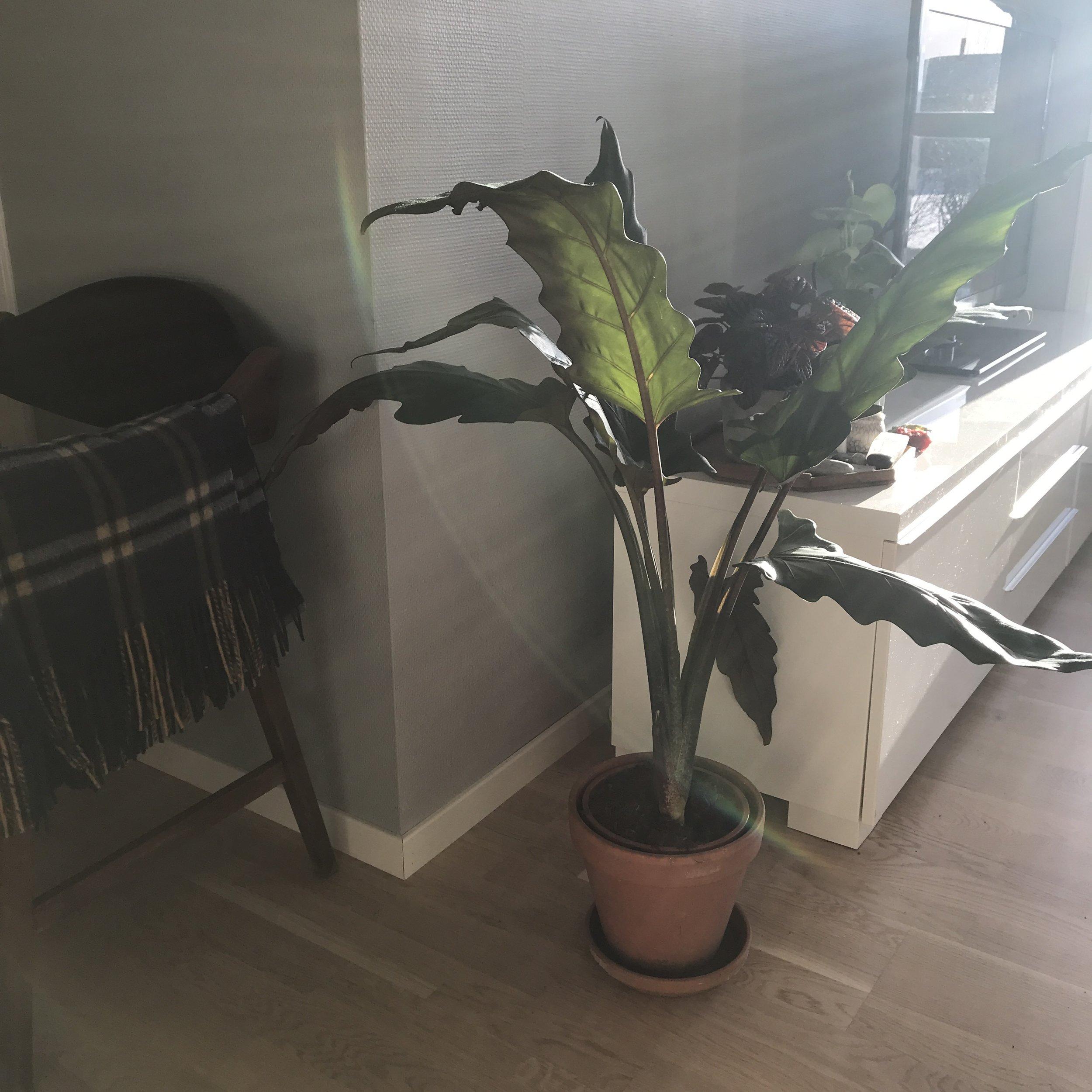 """Stygg krukke? Den hører egentlig til ute. Jeg kjøpte nettopp den store planten, jeg vet ikke om den kommer til å trives hos oss (håper den vil trives) Jeg fant ingen potte da jeg kjøpte planten som sa """"sparks of joy"""" så isteden for å kjøpe en ny, eller brukt potte jeg ikke vil ha i lengden bruker jeg en jeg har i mellomtiden, selv om den er preget av utendørsliv :) Tålmodighet, det lønner seg for lommebok og miljø."""