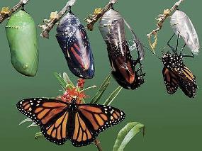 butterfly emerging.jpg