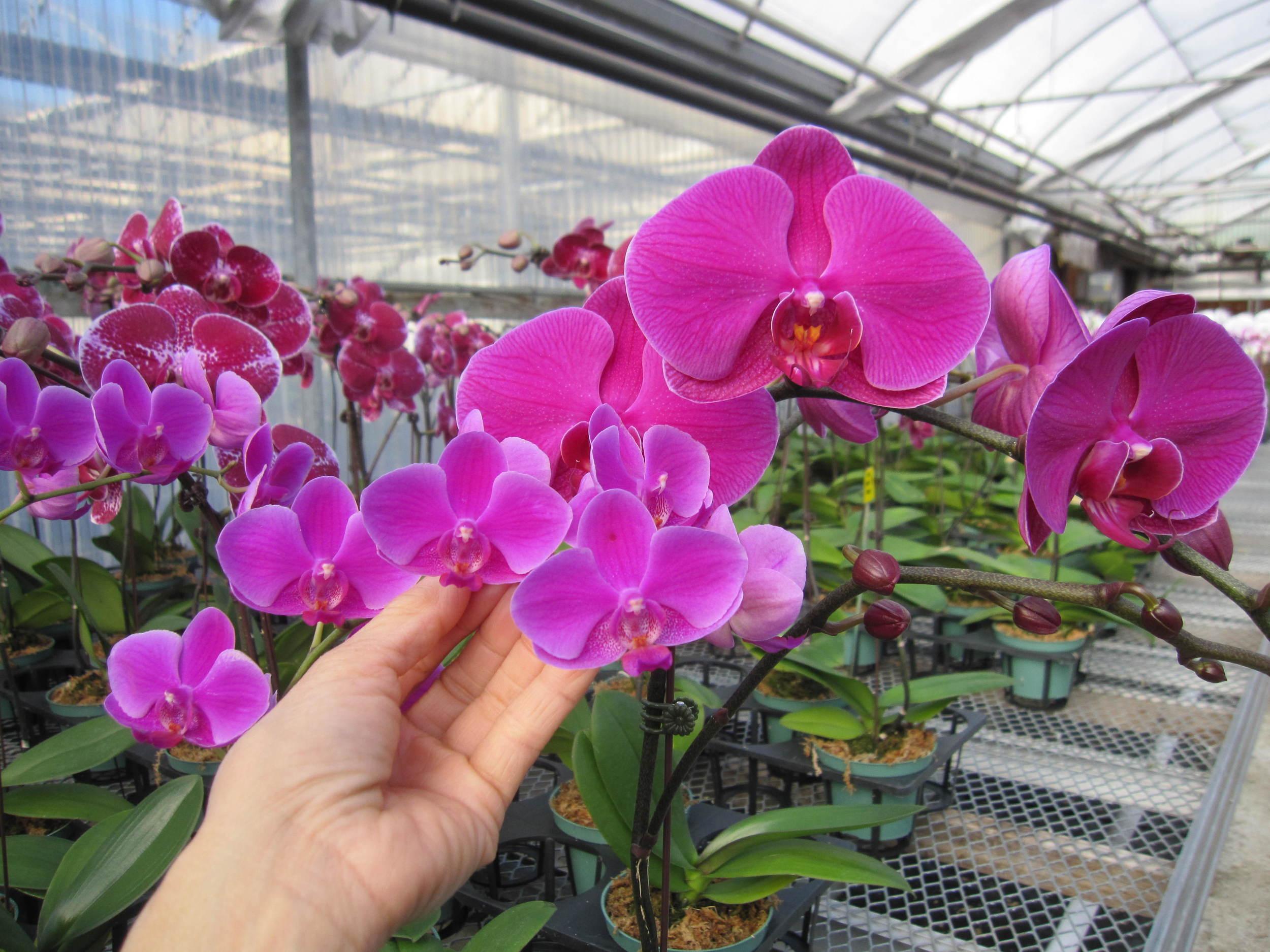 Orchid Nursery Toronto