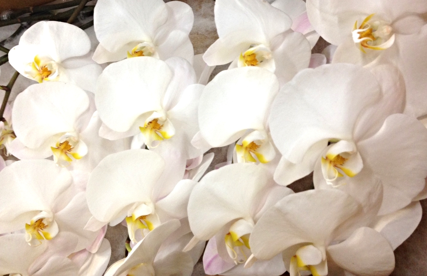 CUT ORCHIDS Click the image for varieties
